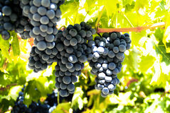 svarta druvor Arkivfoto