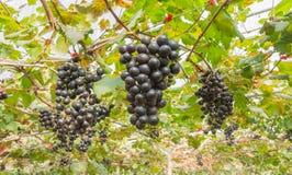 Svarta druvor i bred sikt för för druvaträdgård eller vingård Arkivfoto