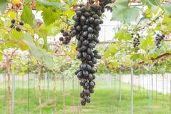 Svarta druvor i position för druvaträdgård- eller vingårdmitt Royaltyfri Fotografi