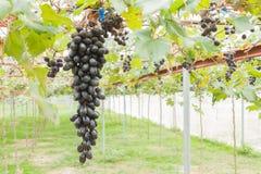 Svarta druvor i position för druvaträdgård- eller vingårdvänstersida Royaltyfri Fotografi