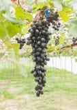 Svarta druvor i sikt för druvaträdgård- eller vingårdstående Arkivbilder