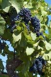 Svarta druvor i vingårdar Royaltyfria Foton