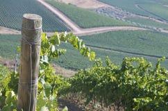 Svarta druvor i vingårdar Royaltyfri Bild