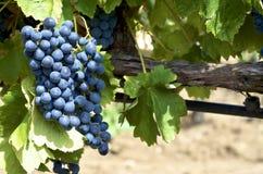 Svarta druvor i vingårdar Royaltyfria Bilder