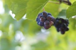 Svarta druvor i vingårdar Royaltyfri Foto