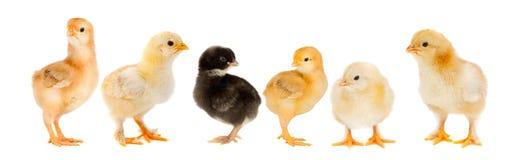 svarta fågelungefågelungar fem en yellow Arkivfoton