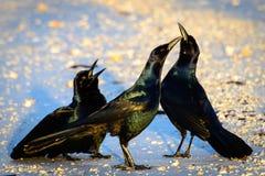 Svarta fåglar Arkivbilder