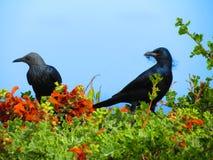 Svarta fåglar Fotografering för Bildbyråer