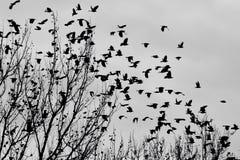 Svarta fåglar royaltyfri foto