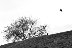 Svarta fåglar Arkivfoto