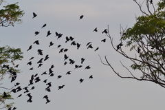Svarta fåglar som flyger över landet Royaltyfria Bilder