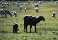 Svarta får betar in i Carson City, Nevada Arkivbilder