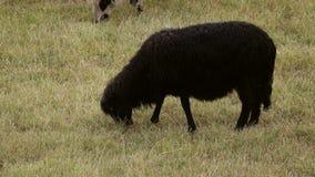 Svarta får som äter gräs i ultrarapid lager videofilmer