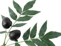 svarta filialolivgrön royaltyfria foton