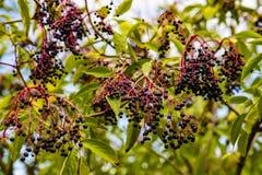 Svarta fläderbär på ett träd arkivfoton