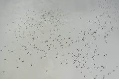 Svarta flygfåglar Arkivbild