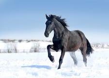 Svarta friesianhästkörningar galopperar på snön royaltyfria bilder