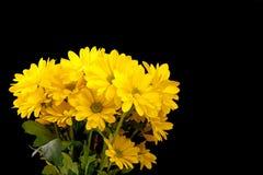 svarta gerberas isolerade yellow Arkivbild