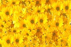 svarta gerberas isolerade yellow Fotografering för Bildbyråer