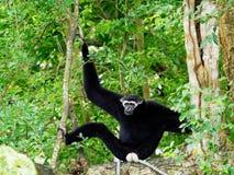 Svarta Gibbon med den vita framsidan och ögonbrynet som vilar på ett träd arkivfoton