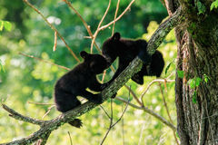 svarta gröngölingar för björn Royaltyfria Bilder