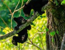 svarta gröngölingar för björn royaltyfri foto