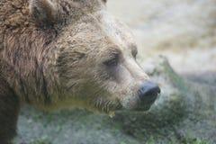 Svarta grisslybjörnar Arkivbilder