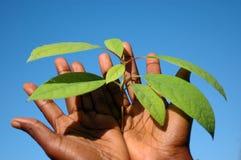 svarta händer som rymmer växten Arkivfoton