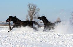 svarta hästar Royaltyfri Fotografi
