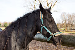 Svarta hästar på en solig dag i automn Royaltyfri Foto