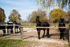 Svarta hästar på en solig dag i automn Arkivfoton