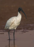 svarta hövdade ibis Royaltyfria Bilder