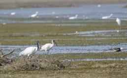 svarta hövdade ibis Royaltyfri Fotografi
