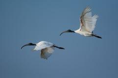 svarta hövdade ibis Arkivbilder