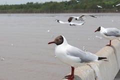 Svarta hövdade seagulls Arkivbilder