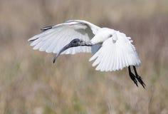 svarta hövdade ibis Arkivfoton