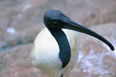 svarta h?vdade ibis arkivbilder