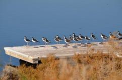 Svarta halsstyltor (Himantopusmexicarusen) Arkivfoton