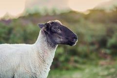 Svarta Head får på oskarp grön bakgrund fotografering för bildbyråer