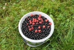 svarta hinkvinbärhallon Royaltyfri Foto