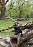Svarta hornbills Royaltyfri Fotografi