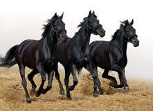 svarta hästar Arkivfoton