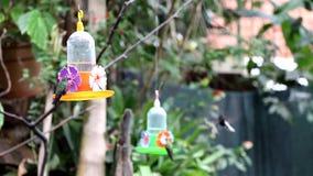 Svarta Jacobin Hummingbird och annan stock video