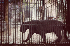 Svarta Jaguar i en bur av zoo Royaltyfri Bild