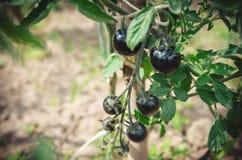 Svarta körsbärsröda tomater växer på en filial i trädgården royaltyfri fotografi