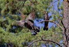 svarta kakaduor Arkivbild