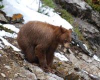 svarta kanelbruna rocks för björn Royaltyfri Bild