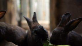 Svarta kaniner äter gröna sidor i en penna i ett skjul Åkerbrukt och att föda upp lantgårddjur, kaninlantgård arkivfilmer