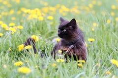 svarta kattblommor Arkivbild