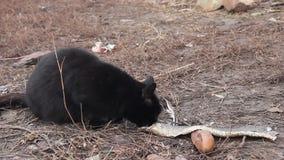 Svarta katter äter fisken stock video